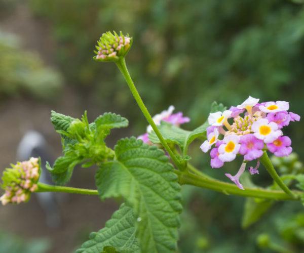 The garden flower